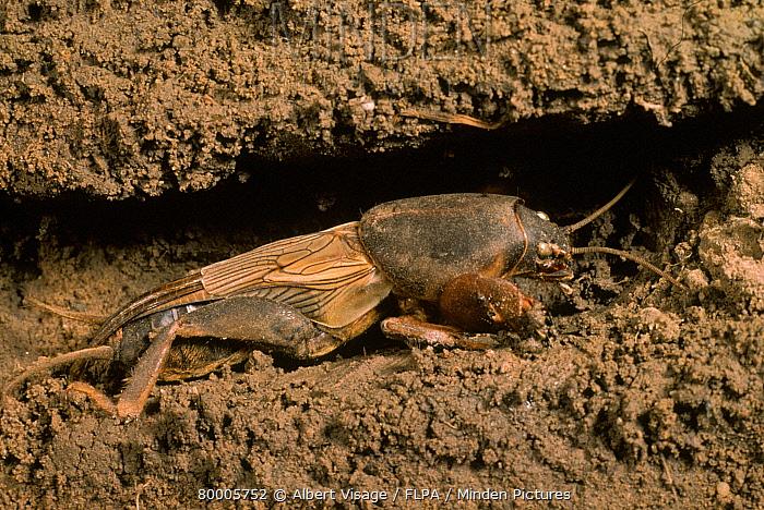Mole Cricket (Gryllotalpa gryllotalpa) In burrow  -  Albert Visage/ FLPA