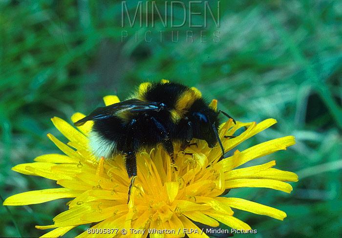 White-tailed Bumblebee (Bombus lucorum) on yellow flower  -  Tony Wharton/ FLPA