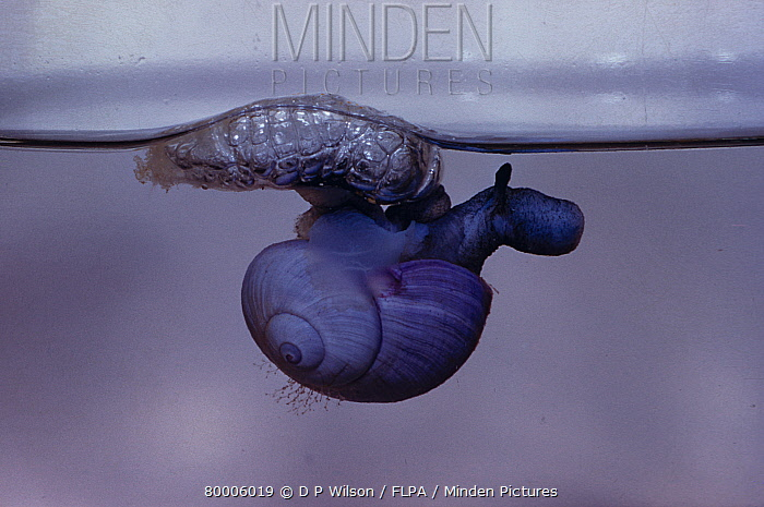 Purple Sea Snail (Janthina janthina) Showing its raft bubbles floating at water surface  -  D.P. Wilson/ FLPA