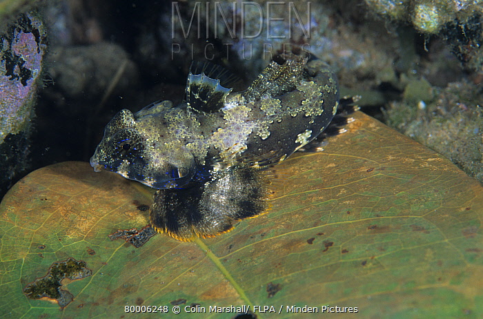 Ocellated Dragonet (Synchiropus ocellatus), House Reef, Tufi, Papua New Guinea  -  Colin Marshall/ FLPA