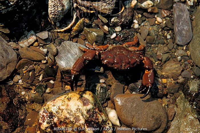 Furrowed Crab (Xantho incisus) Wembury, South Devon  -  D.P. Wilson/ FLPA