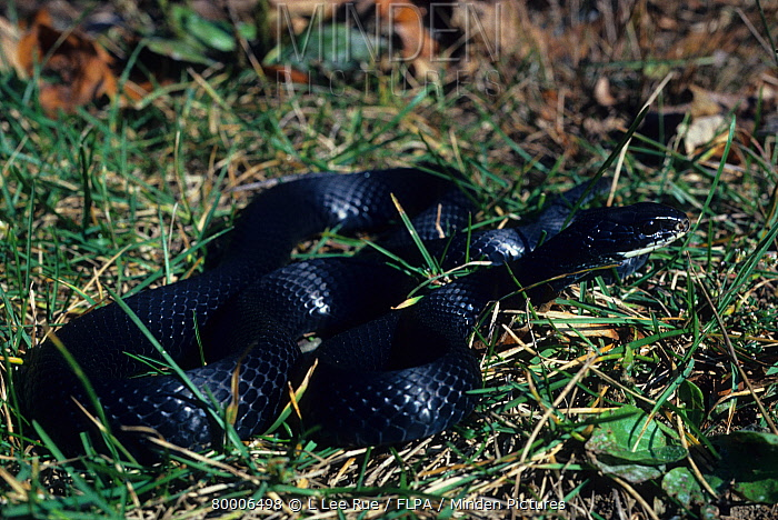 Black Racer Snake Columber Constrictor Close Up On Grass