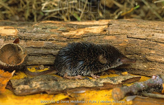 Pygmy Shrew (Sorex minutus) on ground beside fallen branch  -  Derek Middleton/ FLPA