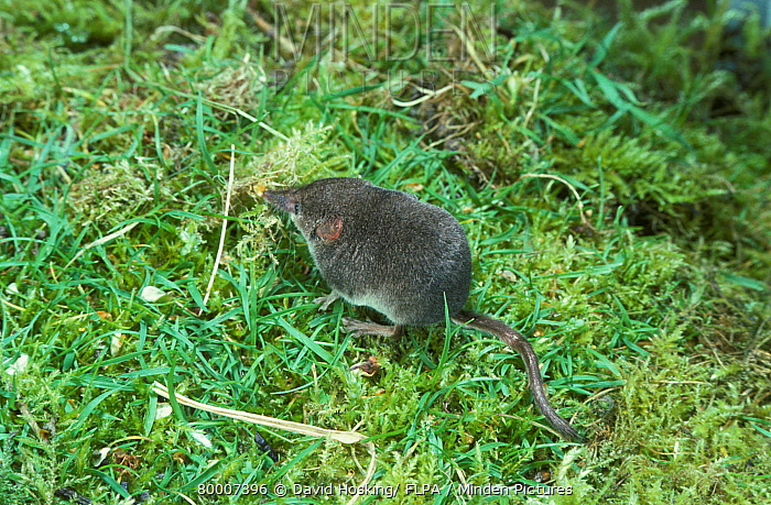 Pygmy Shrew (Sorex minutus) on grass  -  David Hosking/ FLPA