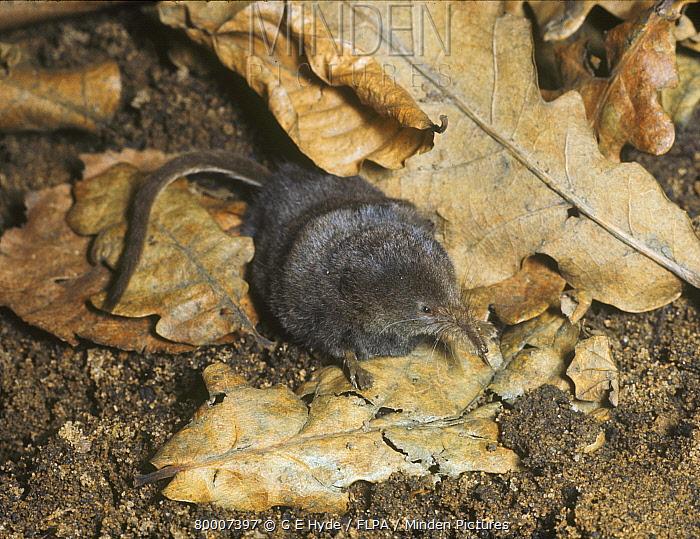 Pygmy Shrew (Sorex minutus) adult, on fallen leaves, England  -  G E Hyde/ FLPA