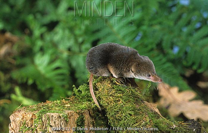 Common Shrew (Sorex araneus) on moss covered tree stump  -  Derek Middleton/ FLPA