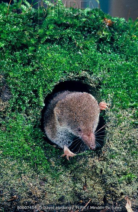 Common Shrew (Sorex araneus), head showing at hole in ground  -  David Hosking/ FLPA