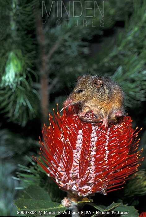 Honey Possum (Tarsipes rostratus) on red flower, captive, Australia  -  Martin Withers/ FLPA
