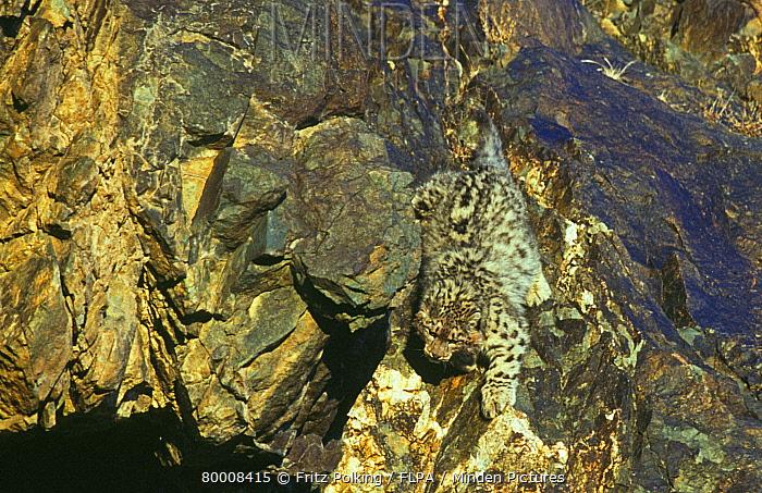 Snow Leopard (Uncia uncia) authentic wild, young, camouflaged on rocks, Altai Mountains, Mongolia  -  Fritz Polking/ FLPA