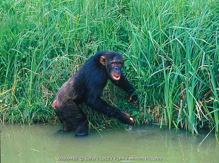 Chimpanzee (Pan troglodytes) standing in muddy water beside reed bank, water in hand  -  Gerard Lacz/ FLPA