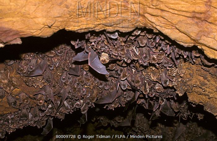 Schreibers' Long-fingered Bat (Miniopterus schreibersii) breeding colony, Spain  -  Roger Tidman/ FLPA