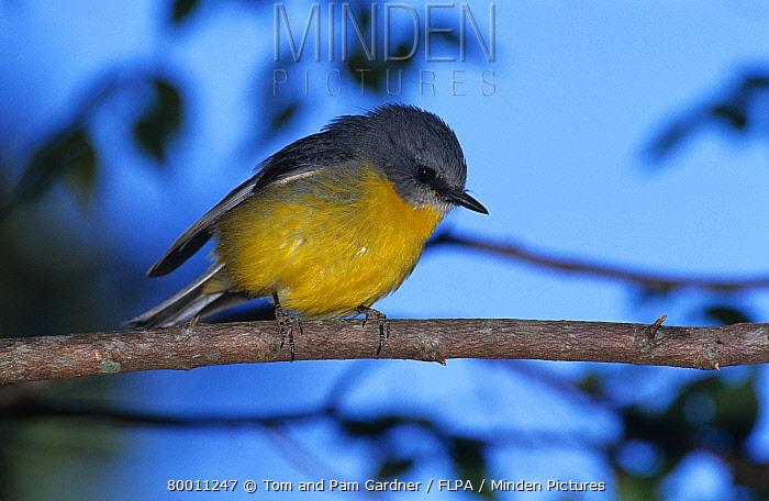 Yellow Robin (Eopsaltria australis) perched on branch, Lamington National Park Queensland, Australia  -  Tom and Pam Gardner/ FLPA