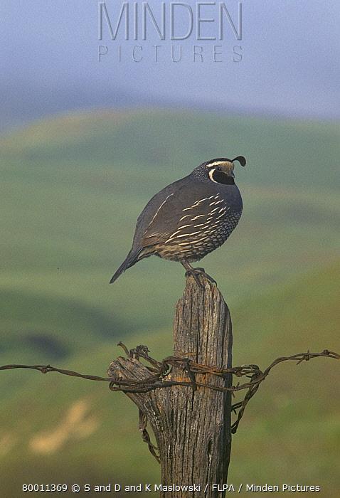 California Quail (Callipepla californica) On fencepost, California  -  S & D & K Maslowski/ FLPA