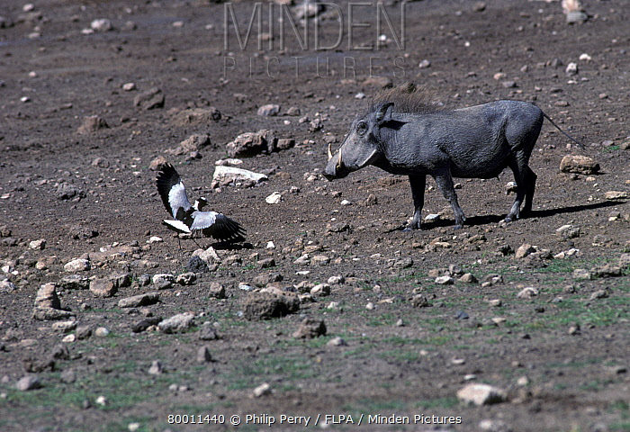 Blacksmith Plover (Vanellus armatus) adult with Warthog at nest site, distraction display  -  Philip Perry/ FLPA