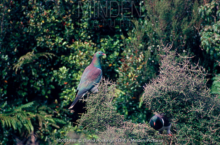 New Zealand Pigeon (Hemiphaga novaeseelandiae) on ground  -  David Hosking/ FLPA