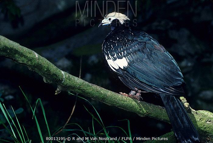 Common Piping Guan (Aburria pipile) Perched  -  R & M Van Nostrand/ FLPA