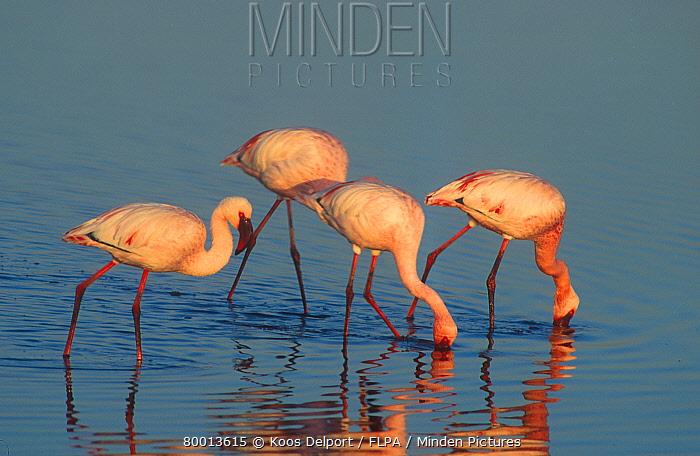 Lesser Flamingo (Phoenicopterus minor) in water, feeding, South Africa  -  Koos Delport/ FLPA