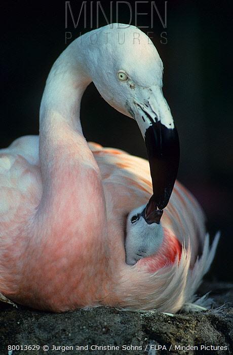 Chilean Flamingo (Phoenicopterus chilensis) Adult feeding chick, chick under wing  -  Jurgen and Christine Sohns/ FLPA