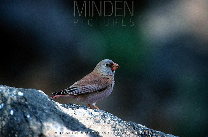 Trumpeter Finch (Rhodopechys githaginea) perched on rock  -  Roger Tidman/ FLPA