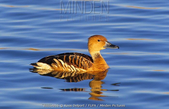 Duck, Whistling Fulvous (Dendrocygna bicolor) Swimming,South Africa  -  Koos Delport/ FLPA