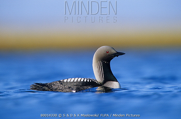 Pacific Loon (Gavia pacifica) swimming, Alaska  -  S & D & K Maslowski/ FLPA