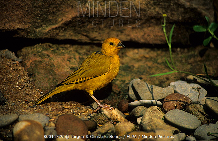 Canary (Serinus canaria), Domestic Form Standing on stones  -  Jurgen and Christine Sohns/ FLPA