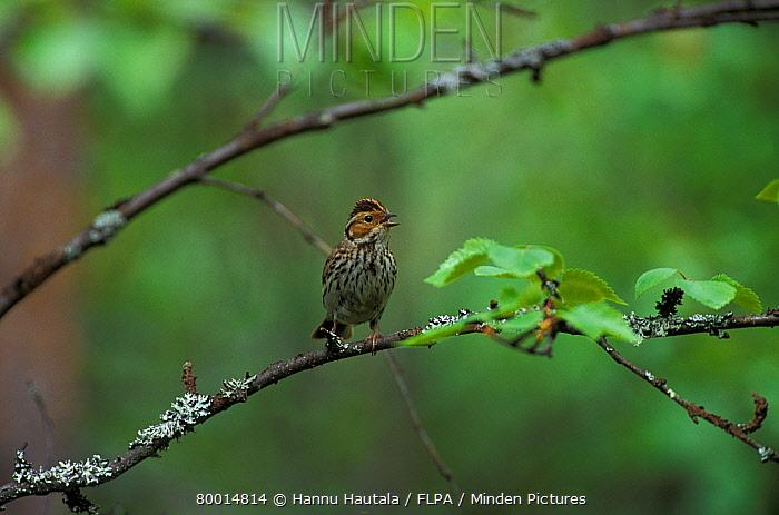 Little Bunting (Emberiza pusilla) Perched on branch, singing  -  Hannu Hautala/ FLPA