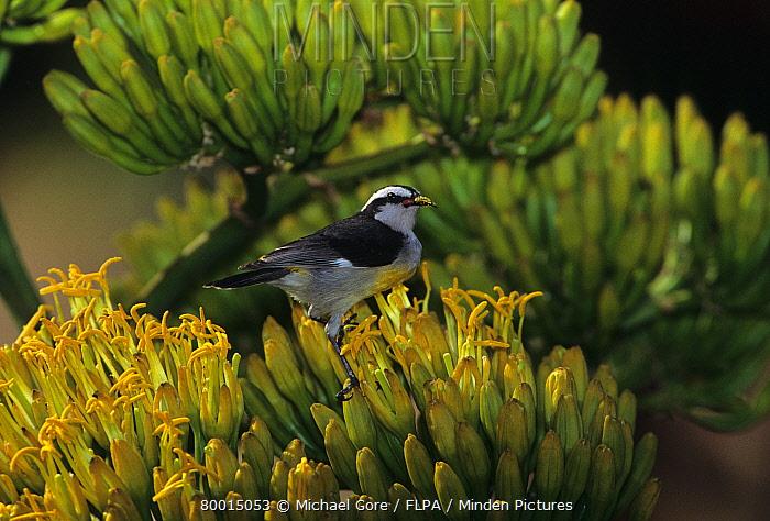 Bananaquit (Coereba flaveola) feeding on pollen, Bahamas  -  Michael Gore/ FLPA