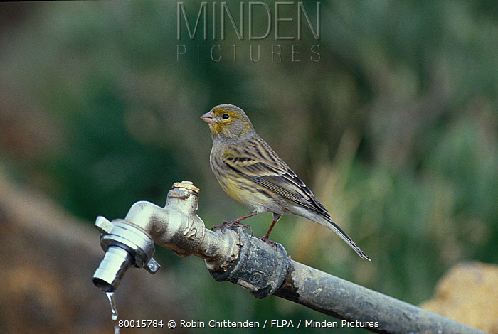 Canary (Serinus canaria) Perched on outside tap, Los Roques, Tenerife  -  Robin Chittenden/ FLPA