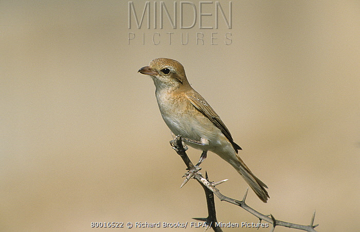 Rufous-tailed Shrike (Lanius isabellinus) perched on tbranch, with thorns, Oman  -  Richard Brooks/ FLPA