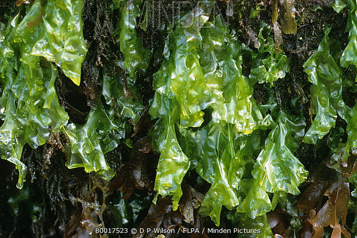 Minden Pictures Stock Photos Seaweed Sea Lettuce Ulva Lactuca