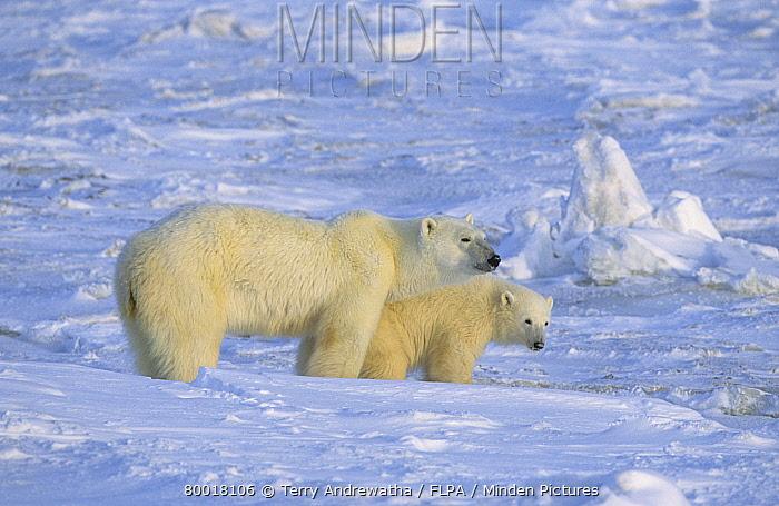 Polar Bear (Ursus maritimus) mother and cub  -  Terry Andrewartha/ FLPA