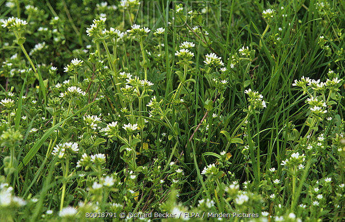 Common Mouse-ear (Cerastium fontanum) Growing as weed in re-sown grass on organic farm, Powys, Wales  -  Richard Becker/ FLPA