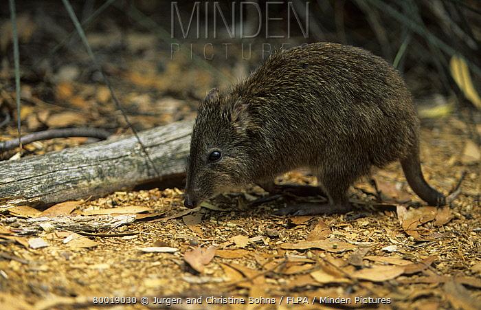 Long nosed Potoroo (Potorous tridactylus) Foraging, Australia  -  Jurgen and Christine Sohns/ FLPA