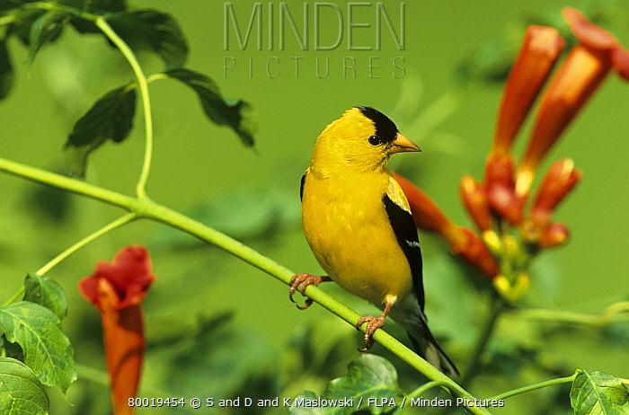 American Goldfinch (Carduelis tristis) male in trumpet creeper, Ohio  -  S & D & K Maslowski/ FLPA