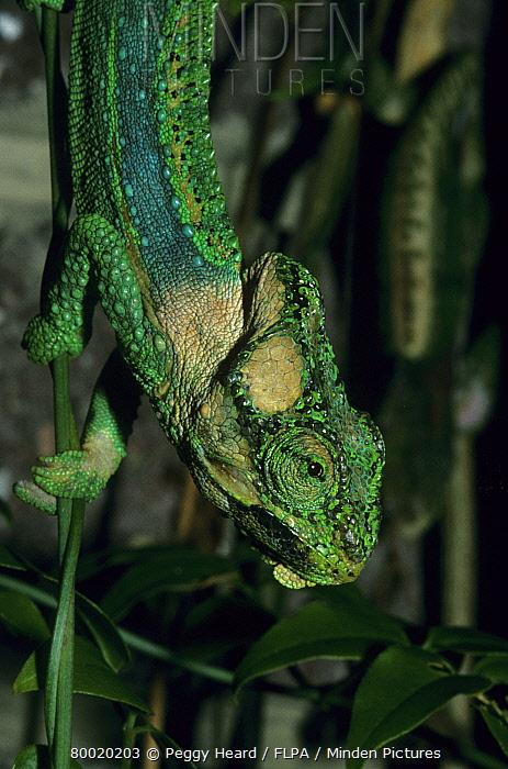 Knysna Dwarf Chameleon (Bradypodion damaranum) male bright green when breeding, Knysna, South Africa  -  Peggy Heard/ FLPA