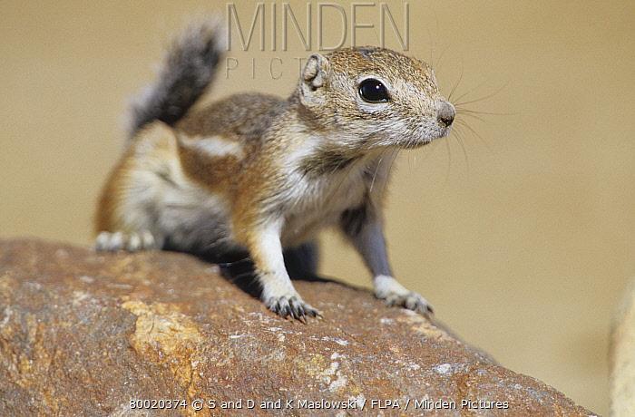 White-tailed Antelope Squirrel (Ammospermophilus leucurus) On rock, Nevada  -  S & D & K Maslowski/ FLPA