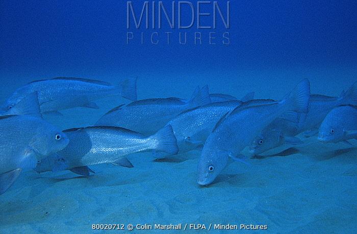 Slender Tasselfish (Umbrina ronchus) Mile Reef, Sodwana Bay, South Africa  -  Colin Marshall/ FLPA
