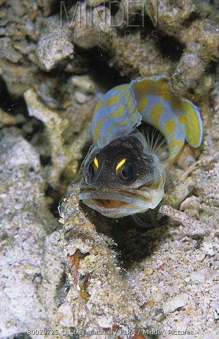 Spotfin Jawfish (Opistognathus sp), Serena North, Lembeh Straits, Sulawesi, Indonesia  -  Colin Marshall/ FLPA