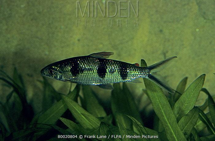 Banded Silver Characin (Hemiodopsis vorderwinkleri) South America  -  Frank Lane/ FLPA
