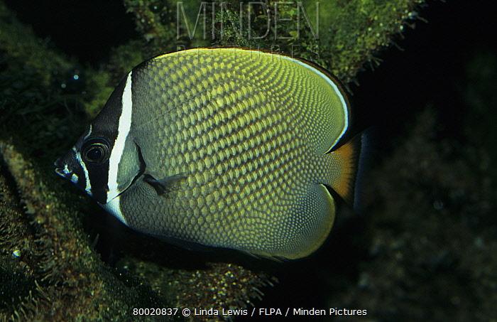 Brown Butterflyfish (Chaetodon collare) Indian Ocean  -  Linda Lewis/ FLPA