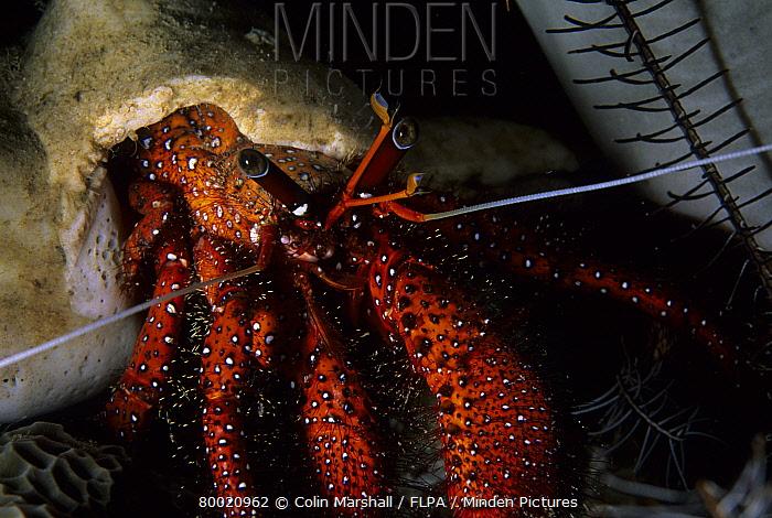 Hermit Crab (Dardanus megistos) Inner Lehok Sera, Lankoi, Komodo Island, Indonesia  -  Colin Marshall/ FLPA