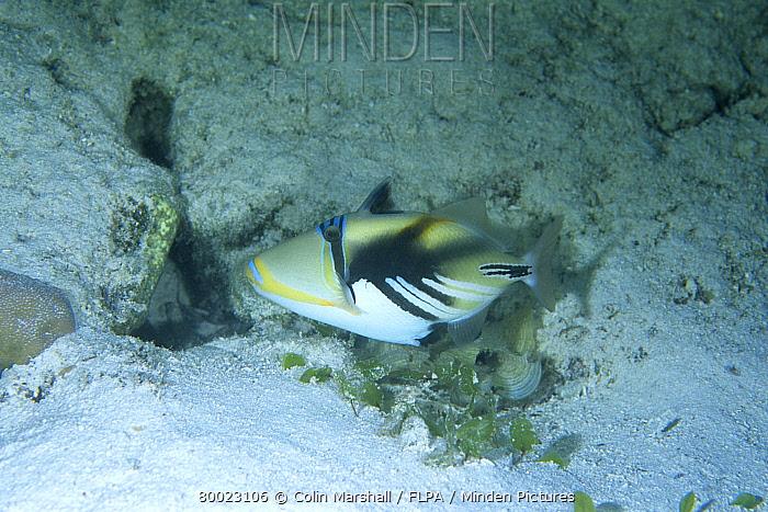 Picasso Triggerfish (Rhinecanthus assasi) House Reef, Wakatobi, Sulawesi, Indonesia  -  Colin Marshall/ FLPA