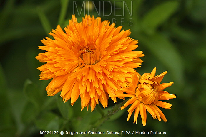 Common Marigold (Calendula officinalis) bloom  -  Jurgen and Christine Sohns/ FLPA