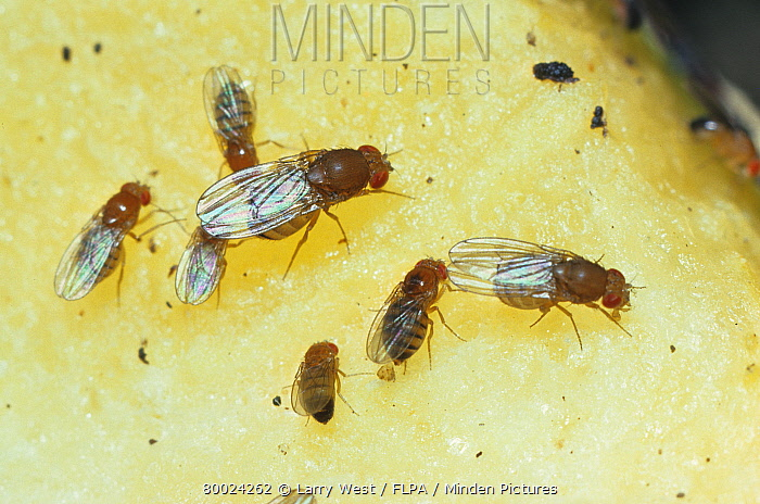 Fruit Fly (Fam.tephritidae) Adults and young settled on fruit  -  Larry West/ FLPA