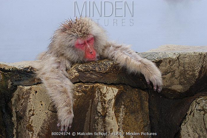 Japanese Macaque (Macaca fuscata) resting at edge of hot spring, Nagano, Honshu, Japan  -  Malcolm Schuyl/ FLPA