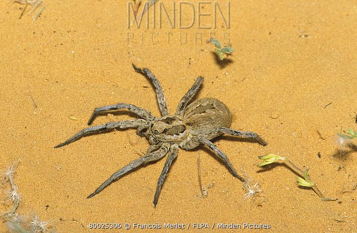 Spider (Agelena labyrinthica) Close-up  -  Francois Merlet/ FLPA