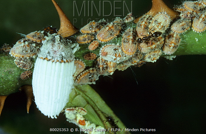 Minden Pictures Stock Photos Scale Insect Icerya Purchasi Adult