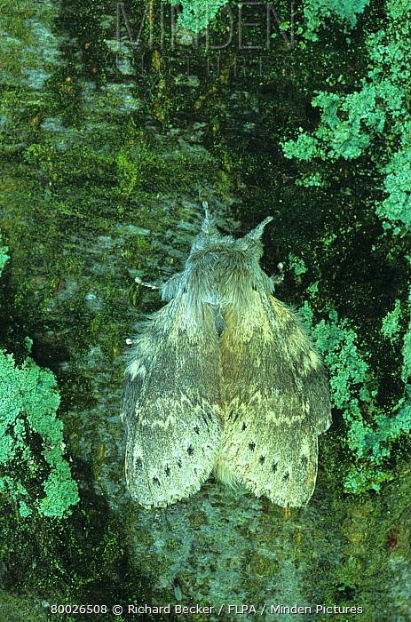 Lobster Moth (Stauropus fagi) roosting on trunk of Beech Tree, Powys, Wales, United Kingdom  -  Richard Becker/ FLPA