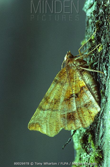 Purple Thorn Moth (Selenia tetraunaria) Adult  -  Tony Wharton/ FLPA